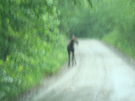 terrible photo of the moose encounter